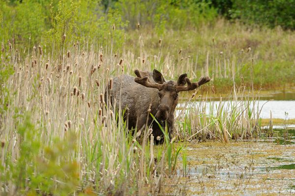A bull moose feeds in a small pond between the Seward Highway and the Alaska Railroad tracks at Potter Marsh in Anchorage, AK on Tuesday June 5, 2018. (Bob Hallinen / ADN)