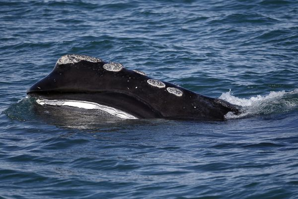 In this Wednesday March 28, 2018 photo, the baleen is visible on a North Atlantic right whale as it feeds on the surface of Cape Cod bay off the coast of Plymouth, Mass. North Atlantic right whales are facing the threat of extinction within a generation, and the movement to preserve them is trying to come up with new solutions. (AP Photo/Michael Dwyer)