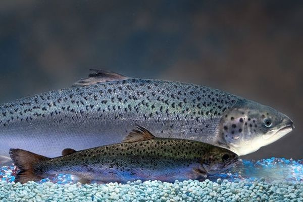 A genetically modified salmon and traditional farmed Atlantic salmon of the same age.
