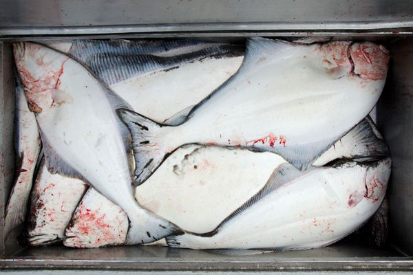 The International Pacific Halibut Commission lowered 2014 quotas for region 4E by almost 50 percent, catching the Coastal Villages Region Fund off guard.