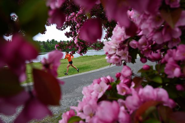 A runner on the Chester Creek Trail passes a flowering tree at Westchester Lagoon on June 8, 2020. (Marc Lester / ADN)