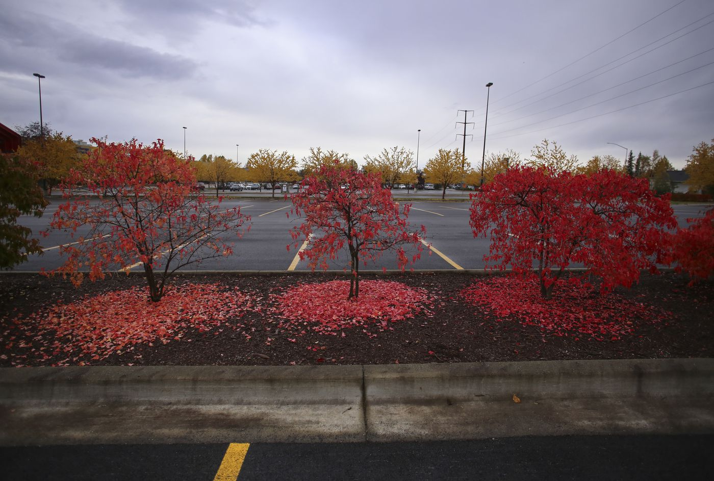 Trees lose their leaves in a section of parking lot landscaping outside the Anchorage School District Education Center on Sept. 26, 2020. (Emily Mesner / ADN)
