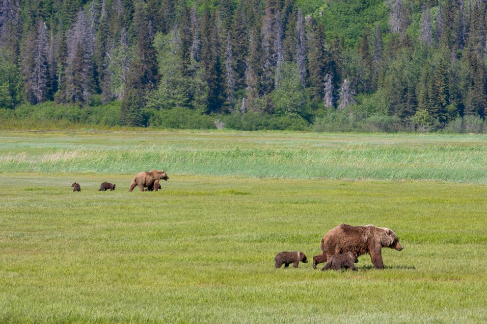 Brown bears gather in high numbers in Chinitna Bay's salt marshes to graze on the protein rich sedges in Katmai National Park. (Kevyn Jalone / National Park Service,  2012)