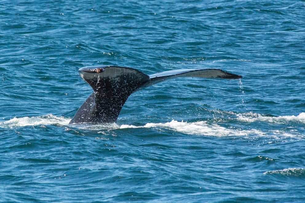A humpback whale dives in Resurrection Bay on Jun. 14, 2016. (Loren Holmes / Alaska Dispatch News)