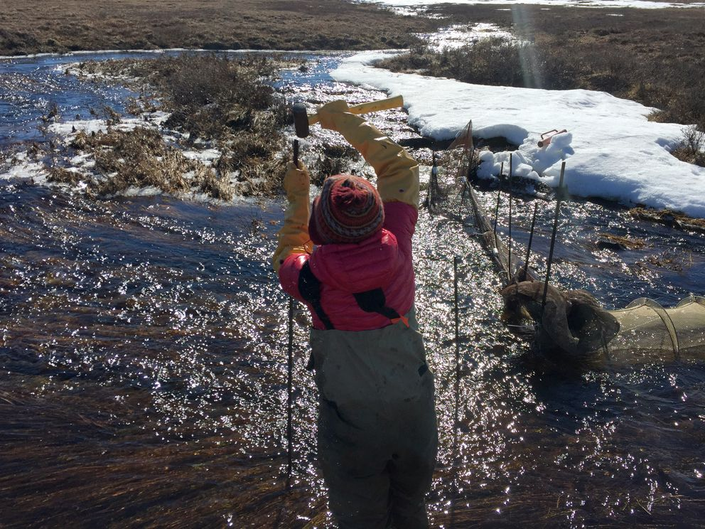Heidi Golden works in Oksrukuyik Creek last spring, setting traps to catch arctic grayling. (Robbie Score)