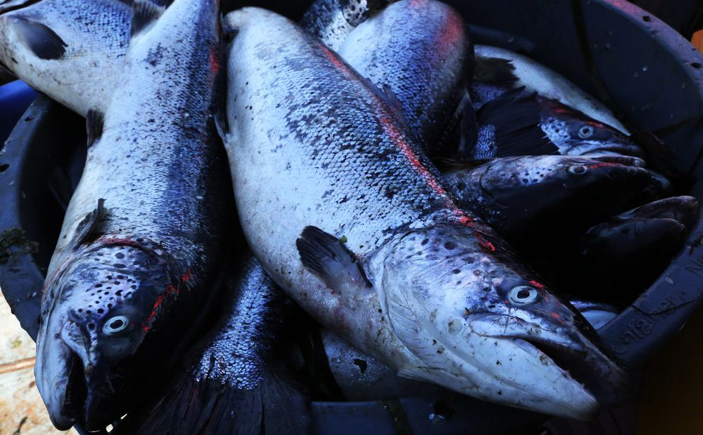 A tub with about 50 of the escaped farmed Atlantic salmon are on Jay Julius' gill netter off Cypress Island. (Alan Berner/Seattle Times/TNS)
