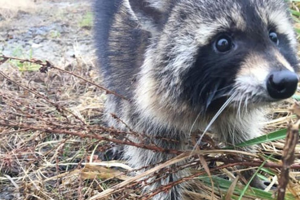 A drunk raccoon in Milton, W.Va. MUST CREDIT: Photo handout from Milton Police Department