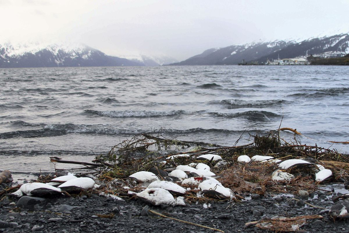 FILE – In this Thursday, Jan. 7, 2016 file photo, dead common murres lie washed up on a rocky beach in Whittier, Alaska. In August 2018, federal wildlife officials are asking Alaska coastal communities to report dead and dying seabirds that have appear along beaches since May. The latest bird die-off is not as extensive as one two years earlier but continues a trend of avian mortality over five years that may be tied to warming water in the Bering Sea and Gulf of Alaska. (AP Photo/Mark Thiessen, File)