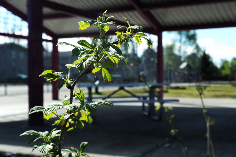 Raspberries soak up sunshine adjacent to a picnic shelter on Thursday, May 25, 2017, at Fairview Park. A recent fix-it event added apple trees, blueberry and currant bushes to the site along with a garden plot with raspberry bushes, strawberry plants and rhubarb. (Erik Hill / Alaska Dispatch News)