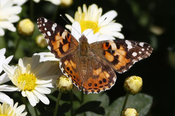 A painted lady butterfly flies near daisies in a garden in downtown Denver Wednesday, Oct. 4, 2017. (AP Photo/David Zalubowski)