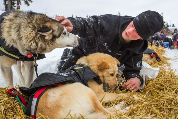 Dallas Seavey tends to his lead dogs shortly after arriving at the Koyuk checkpoint on Monday, March 16, 2015. (Loren Holmes / ADN archive 2015)
