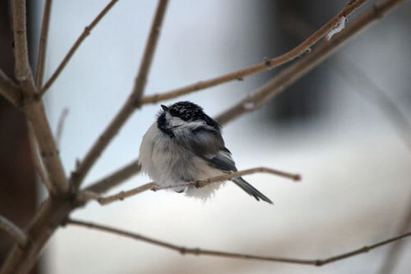 A black-capped chickadee on a cold Alaska day. (Photo by Jim DeWitt)