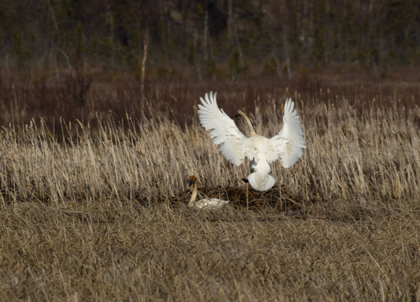 A trumpeter swan lands at the nest as its mate moves off to feed at Potter Marsh in Anchorage on Saturday May 2, 2020. This is the first pair of swans to nest at Potter Marsh in the memory of Anchorage Coastal Refuge managers and local birders. (Photo by Bob Hallinen)