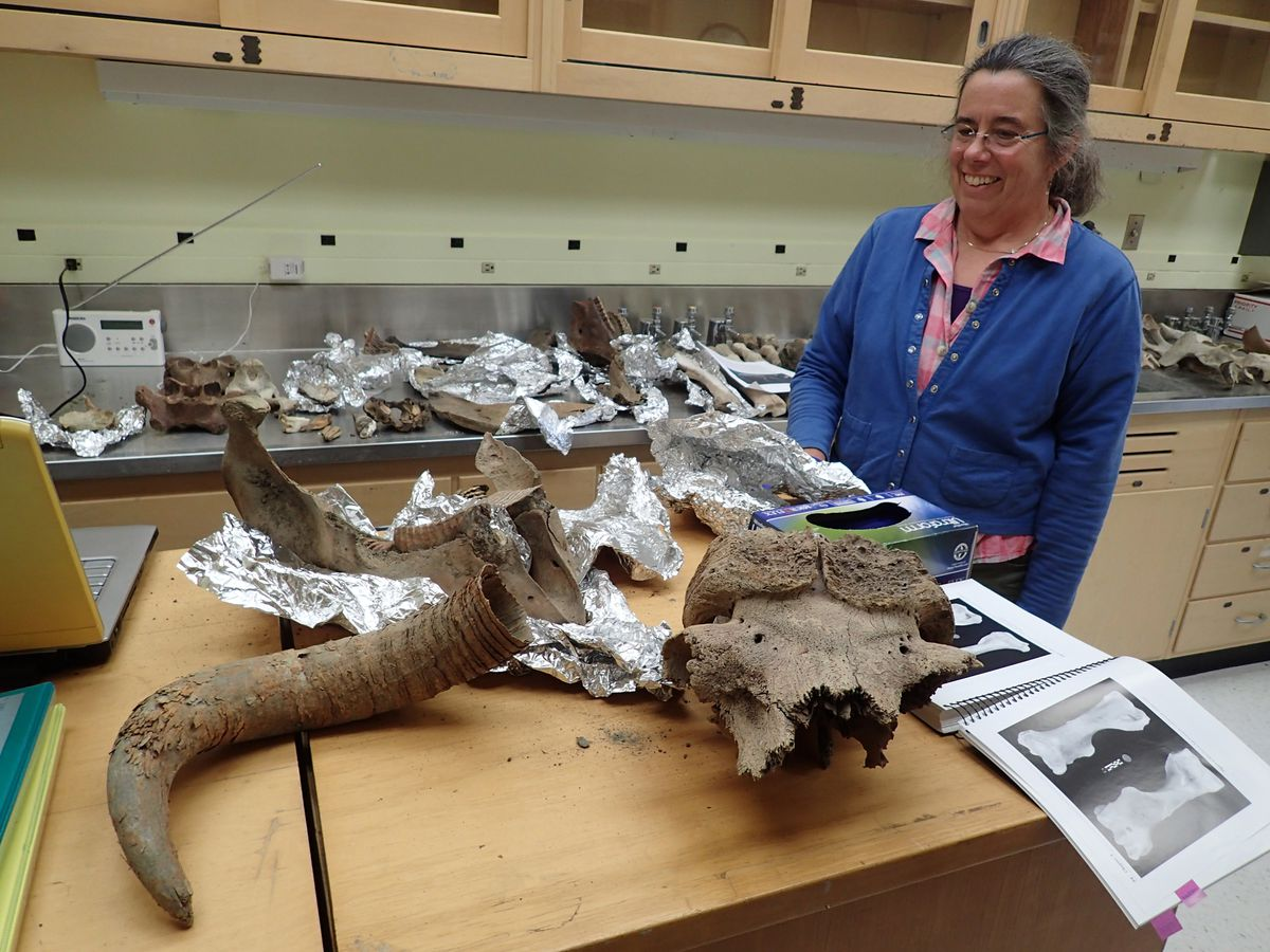 Pam Groves of the University of Alaska Fairbanks looks at bones of ancient creatures she has gathered over the years from northern rivers. The remains here include musk oxen, steppe bison and mammoth. (Ned Rozell)