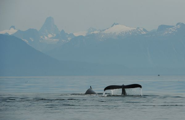 A humpback whale sounds in Frederick Sound. Devils Thumb, in the Stikine Icecap range, is the prominentpeak on the horizon. (Bob Hallinen / ADN)