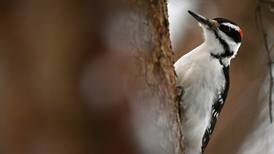 The wonderful woodpeckers of Alaska