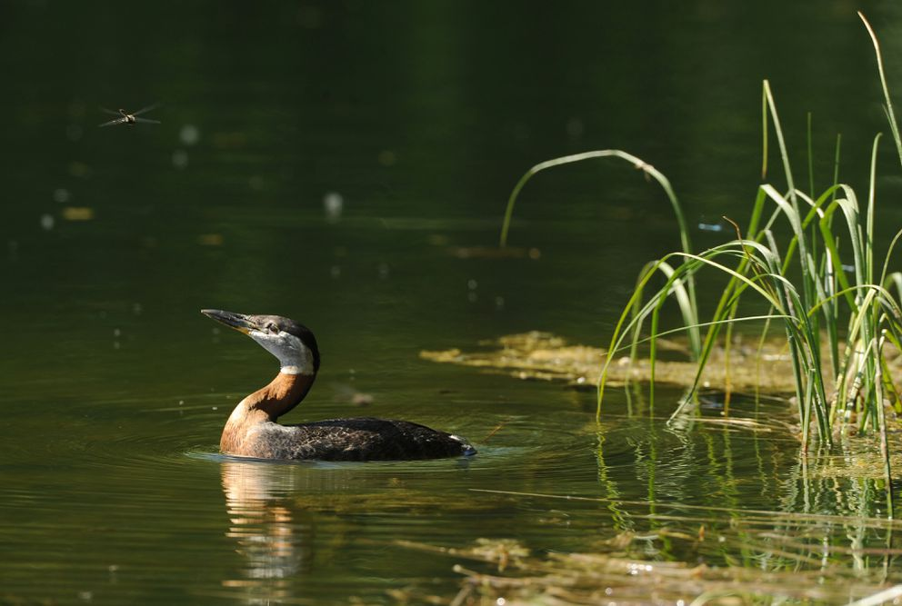 A red-necked grebe eyes a dragonfly. (Bob Hallinen / ADN)