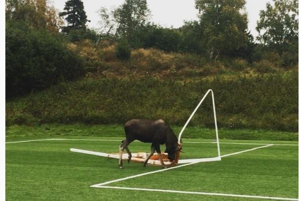 Instagram screengrab of moose pushing around goalpost (ONE-TIME USE)