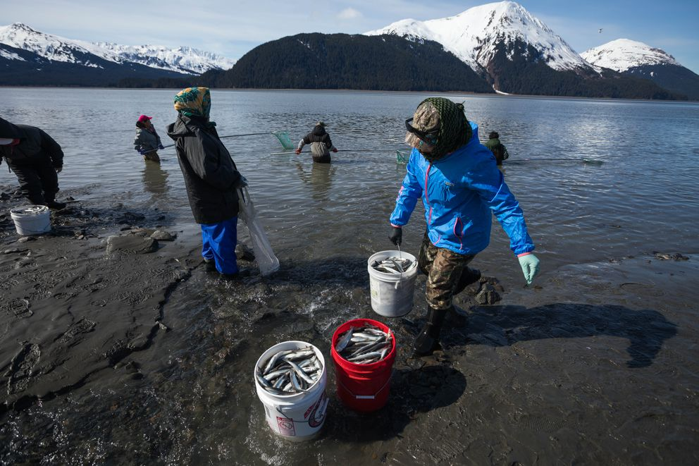 Farm Saelee carries a full bucket of hooligan to her group last week north of Twentymile River along Turnagain Arm. Saelee said she likes to prepare the small, oily fish by making a soup from it with hot pepper, garlic, lemongrass, green onion and ginger. (Loren Holmes / ADN)