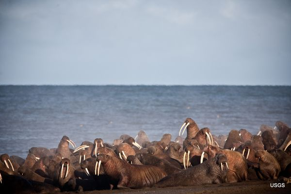 USGS wildlife biologist working with walruses resting on shore near Point Lay, Alaska. Walruses gathered by the tens of thousands in September 2013 to rest on the shores of the Chukchi Sea near the coastal village of Point Lay, Alaska. Walruses are finding it increasingly difficult to remain offshore in over their preferred foraging grounds in the eastern Chukchi Sea due to unprecedented loss of sea ice in the autumn, which has completely disappeared during 5 of the past 7 years. Drifting sea ice gives walruses a platform to rest on between foraging dives. Without sea ice walruses turn to shore to rest, which forces them to either to commute offshore foraging grounds or to forage nearshore over lower quality foraging grounds. The USGS biologist in this photo is working to apply a behavior tracking radios to walruses to better understand how a loss of sea ice may be affecting the walrus. (Photo taken during USGS research efforts permitted under US Fish and Wildlife Service Permit No. MA8016523) (Ryan Kingsbery / USGS) Public domain