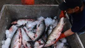 Alaska salmon returning smaller amid climate change and competition with hatchery fish, study finds