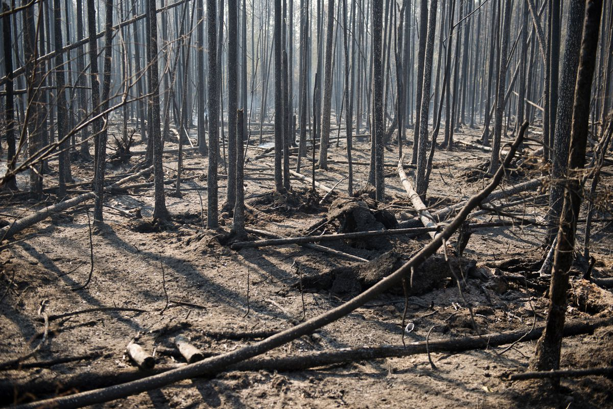 Burned black spruce surround many roads in the Willow area. Four hundred firefighters worked to contain the Sockeye Fire in the Willow area on Tuesday, June 16, 2015. (Marc Lester / Alaska Dispatch News)