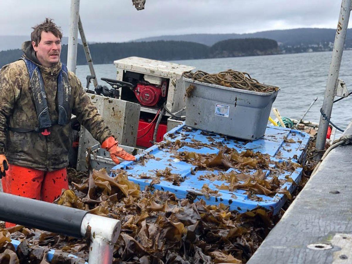 Kodiak Kelp Co's Alf Pryor offloads kombu. (Courtesy Kodiak Kelp Co.)