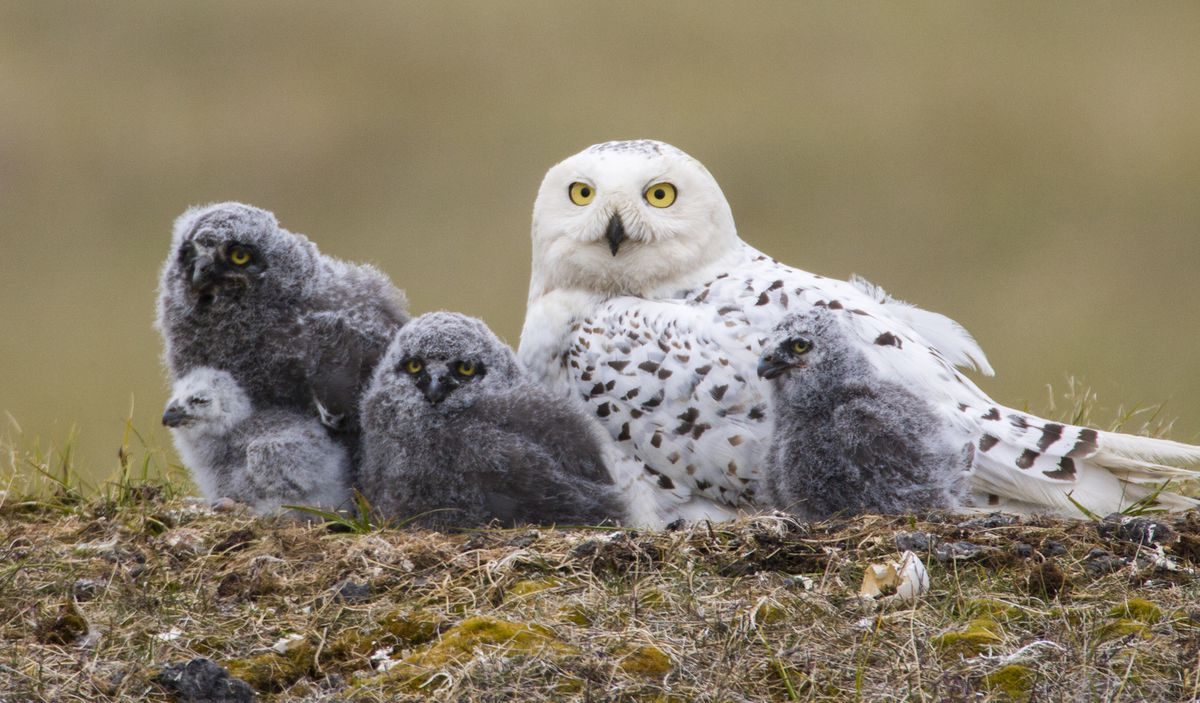 Like all owls, snowy owls begin incubating when the first or second egg is laid. The result — youngsters of various ages — can be a hedge when food is unpredictable.(Paul Bannick, copyright 2016, Braided River)