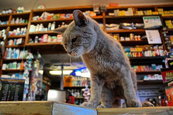 The cat named Stubbs, unofficial Mayor of Talkeetna. (Bailey Berg / Alaska Dispatch News)