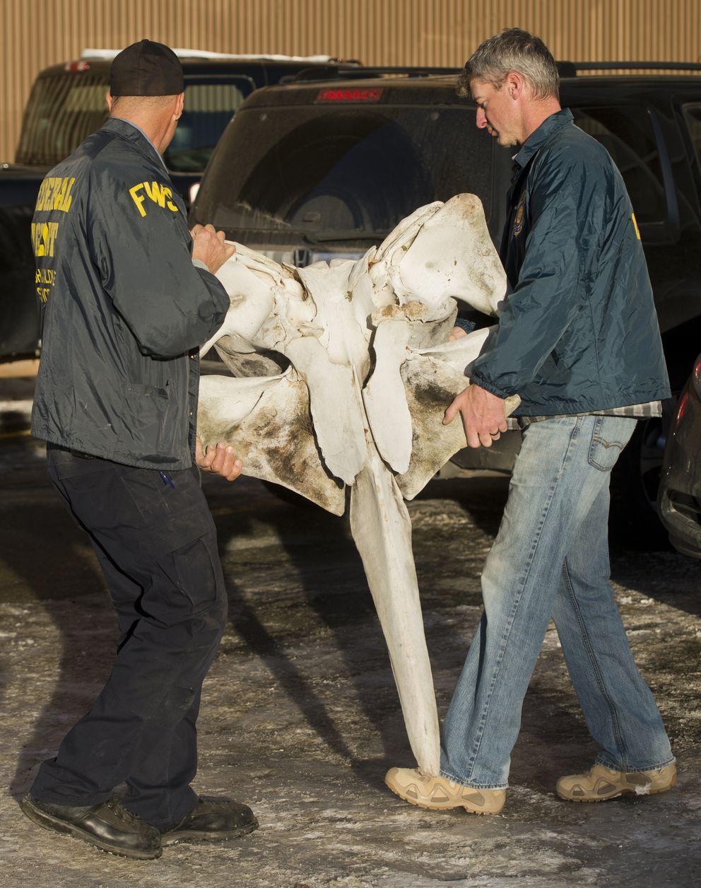 U.S. Fish and Wildlife law enforcement officers and agents removed whale bones, baleen, walrus ivories and other items from The Antique Gallery on Nov. 7, 2017. (Marc Lester / ADN archive)