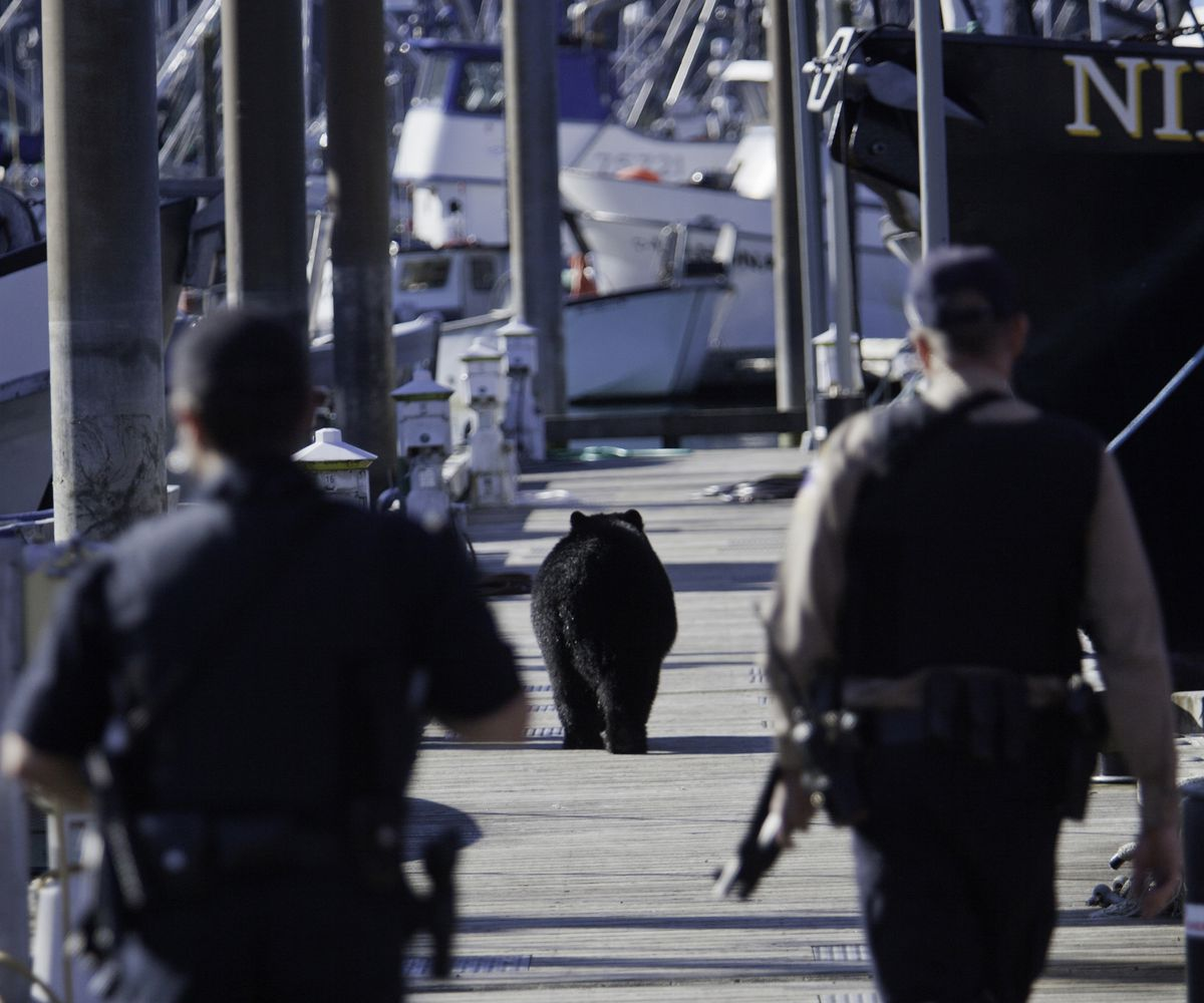 A black bear swam across the Cordova harbor Saturday morning, climbed onto the docks and began going aboard climbing onto salmon tender vessels in search of food. Alaska State Troopers followed the bear and eventually shot the animal. (Bob Martinson photo)