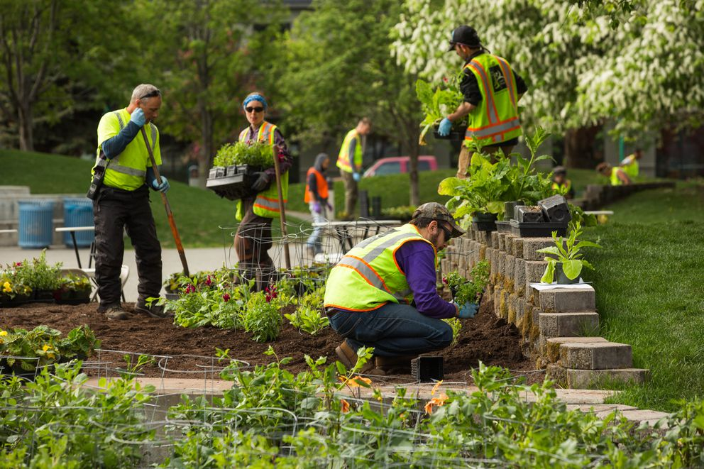 City gardeners, from left, Philip Ambrose, Janine Dickson, Mac Griffin, and Jeremy Caron plant flowers and ornamental plants in beds at Town Square Park on Thursday, May 19, 2016. (Loren Holmes / ADN)