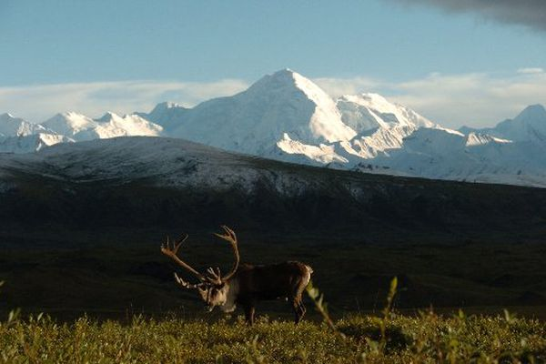 A bull caribou feeds on the tundra at Denali National Park between Wonder Lake and the Eielson Visitors Center on an August day in 2006. (Bob Hallinen / ADN)