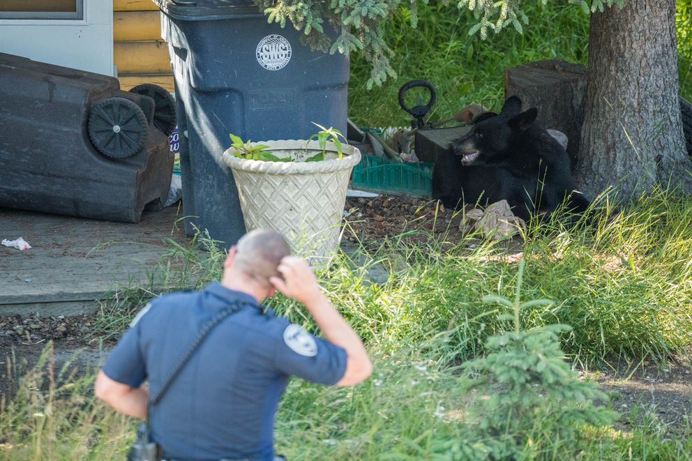 A police officer watches a young black bear that had gotten into trash in Fairview Wednesday. (Loren Holmes / Alaska Dispatch News)
