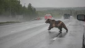 A brown bear stopped traffic on the Glenn Highway