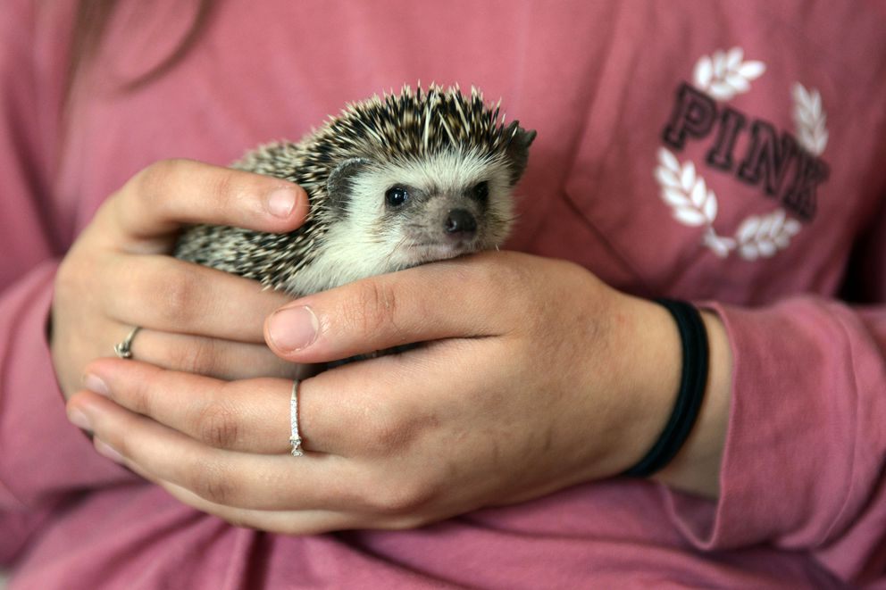 Beckham the hedgehog is held by owner Tatumn Willis, 16, on Wednesday, March 15, 2017, at their East Anchorage home. (Erik Hill / Alaska Dispatch News)