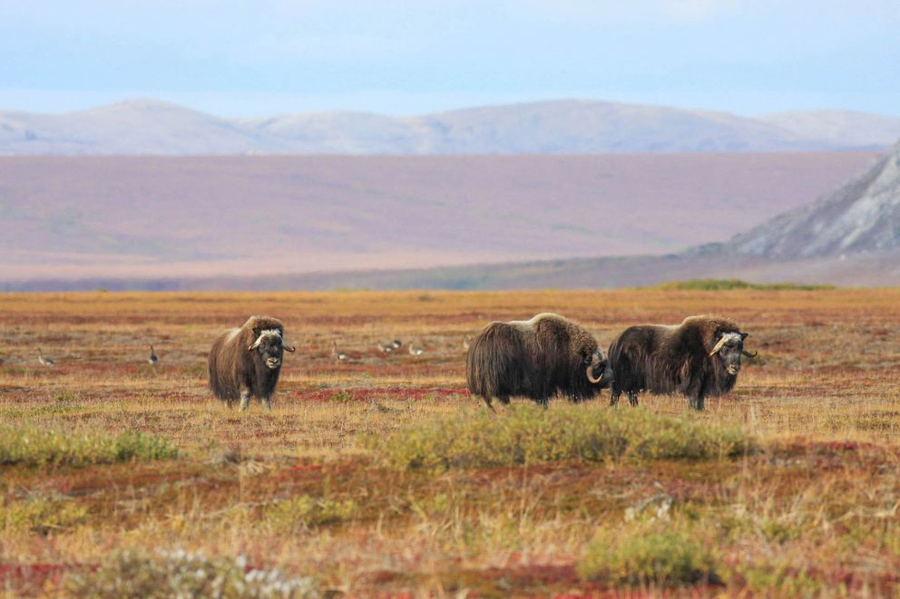 Musk oxen and greater white-fronted geese on vegetated beach ridges in front of the Igichuk Hills, Noatak National Preserve. August 2008. (Photo courtesy National Park Service)