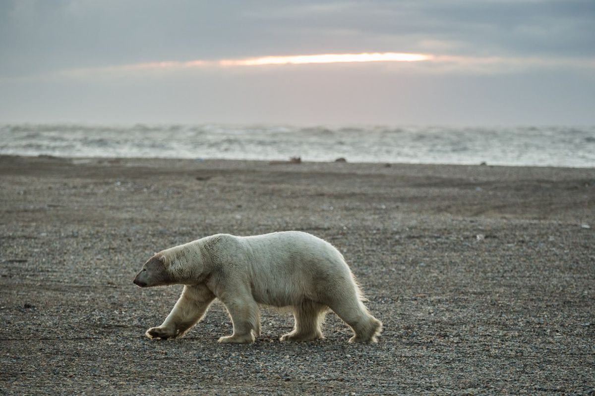 A polar bear walks along the beach in Kaktovik at sunset on Sept. 7, 2012.