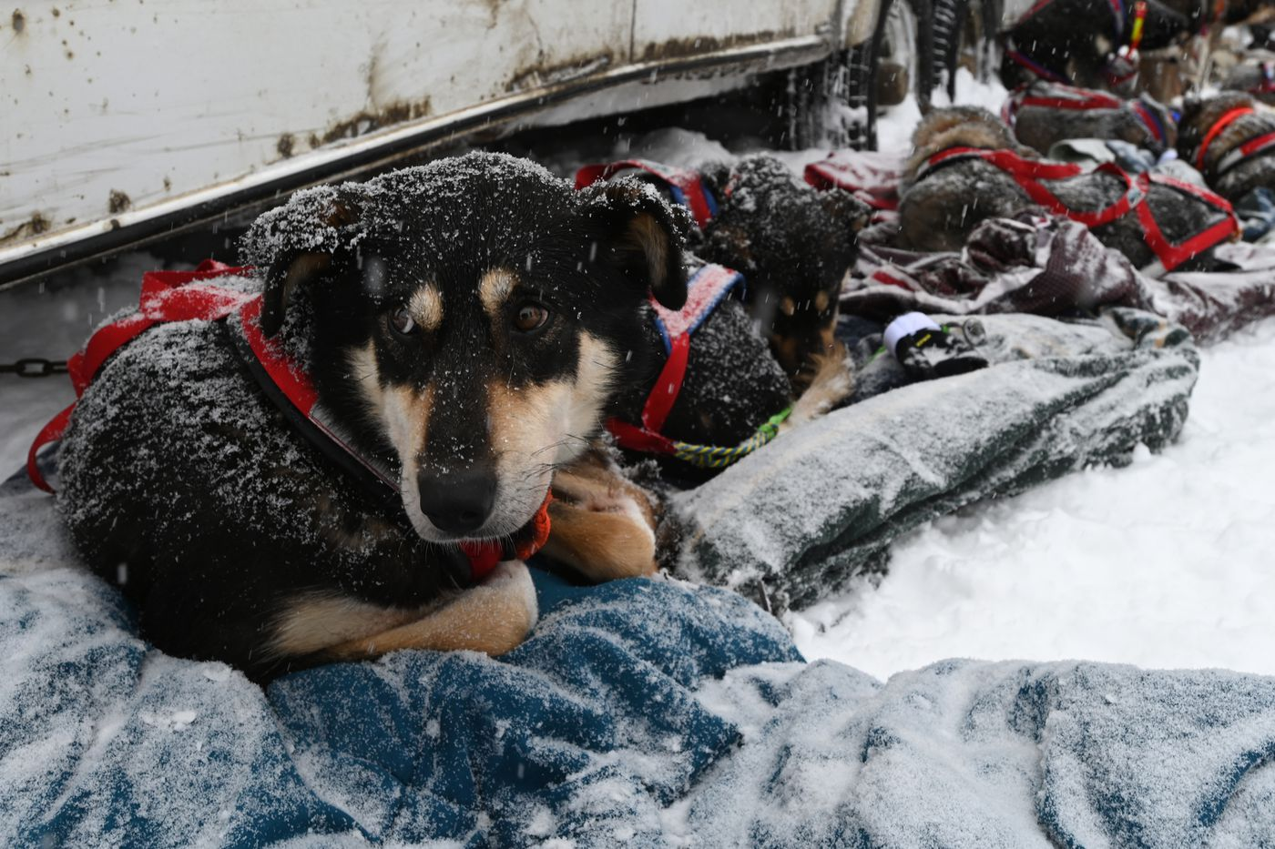 A sled dog named Anna and her teammates with musher Nic Petit rest on blankets before the restart of the Iditarod in Willow. (Bill Roth / ADN)
