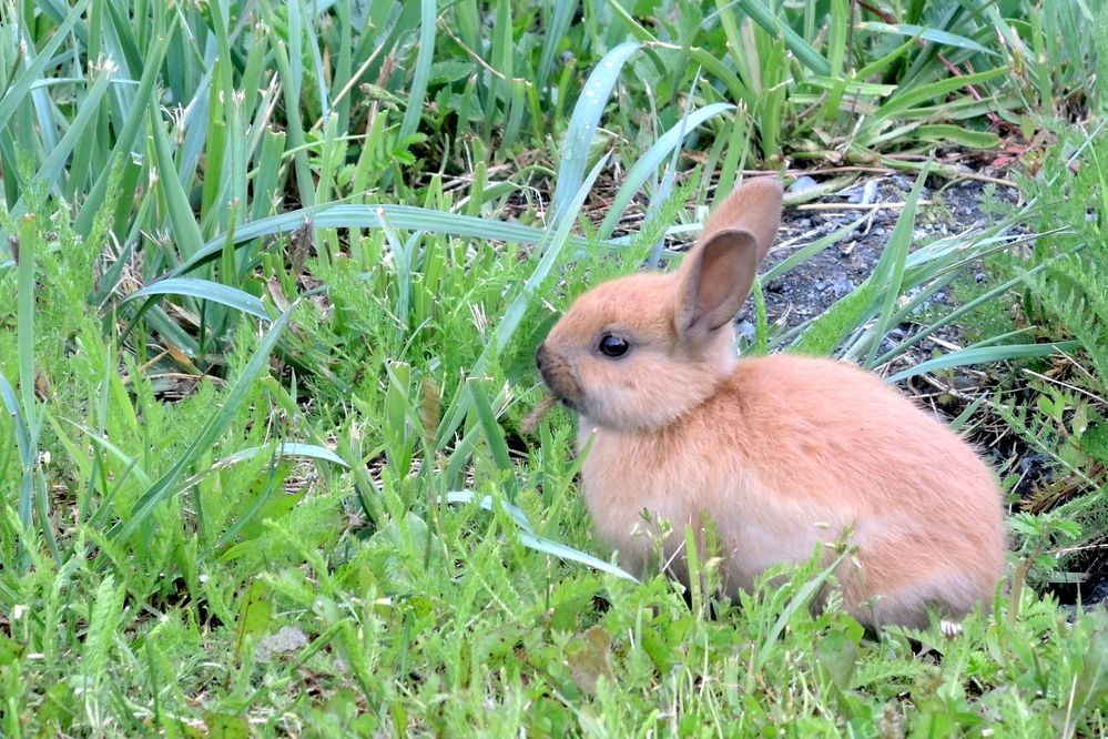 A baby bunny grazes near the Valdez harbor. (Allison Sayer)