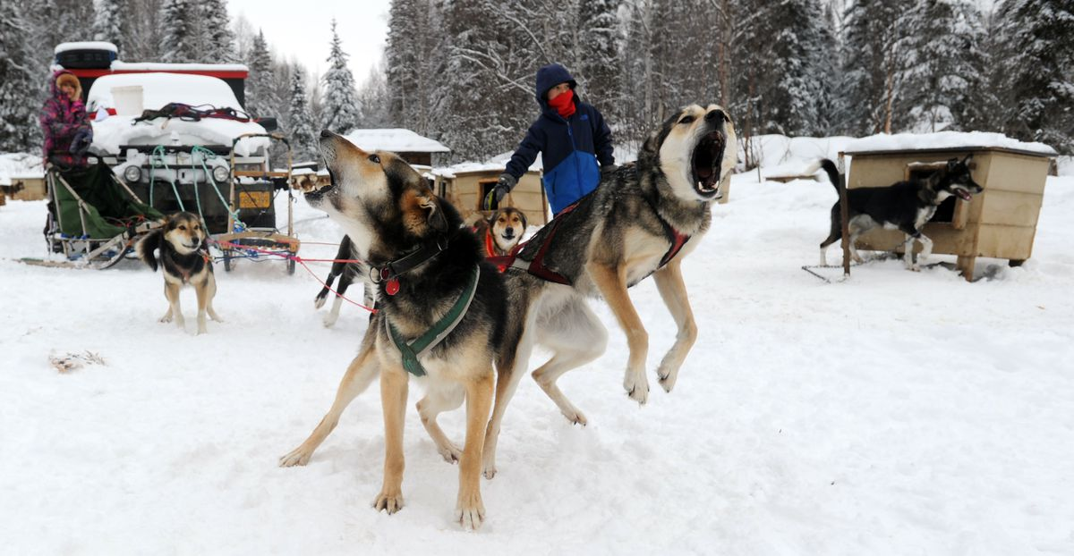 Furry, left, and Agnes are ready to run for Ava Smyth, 10, as she and her brother Banyan, 6, prepare to head out on a five-mile jaunt at the family home near Houston. Ava was running three dogs, Banyan two. (Erik Hill / Alaska Dispatch News)