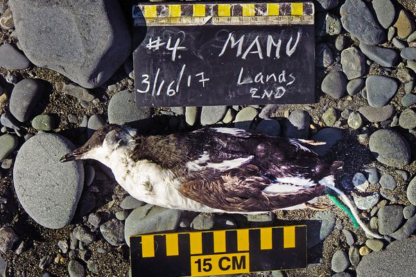 COASST volunteers found this marbled murrelet washed up onto the terminus of the Homer Spit on March 16, 2017. (Clark Fair)