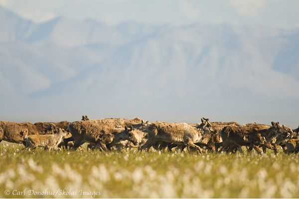 The Porcupine caribou herd in ANWR.