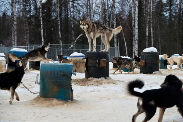 A member of Dallas Seavey's team watches his mates from atop a dog house at his home in Willow on Friday, February 20, 2015. In a recent interview with Alaska Dispatch News, Dallas Seavey describes the final moments of the 2014 Iditarod which he won after a brutal windstorm on the Norton Sound coast. (Marc Lester / Alaska Dispatch News)