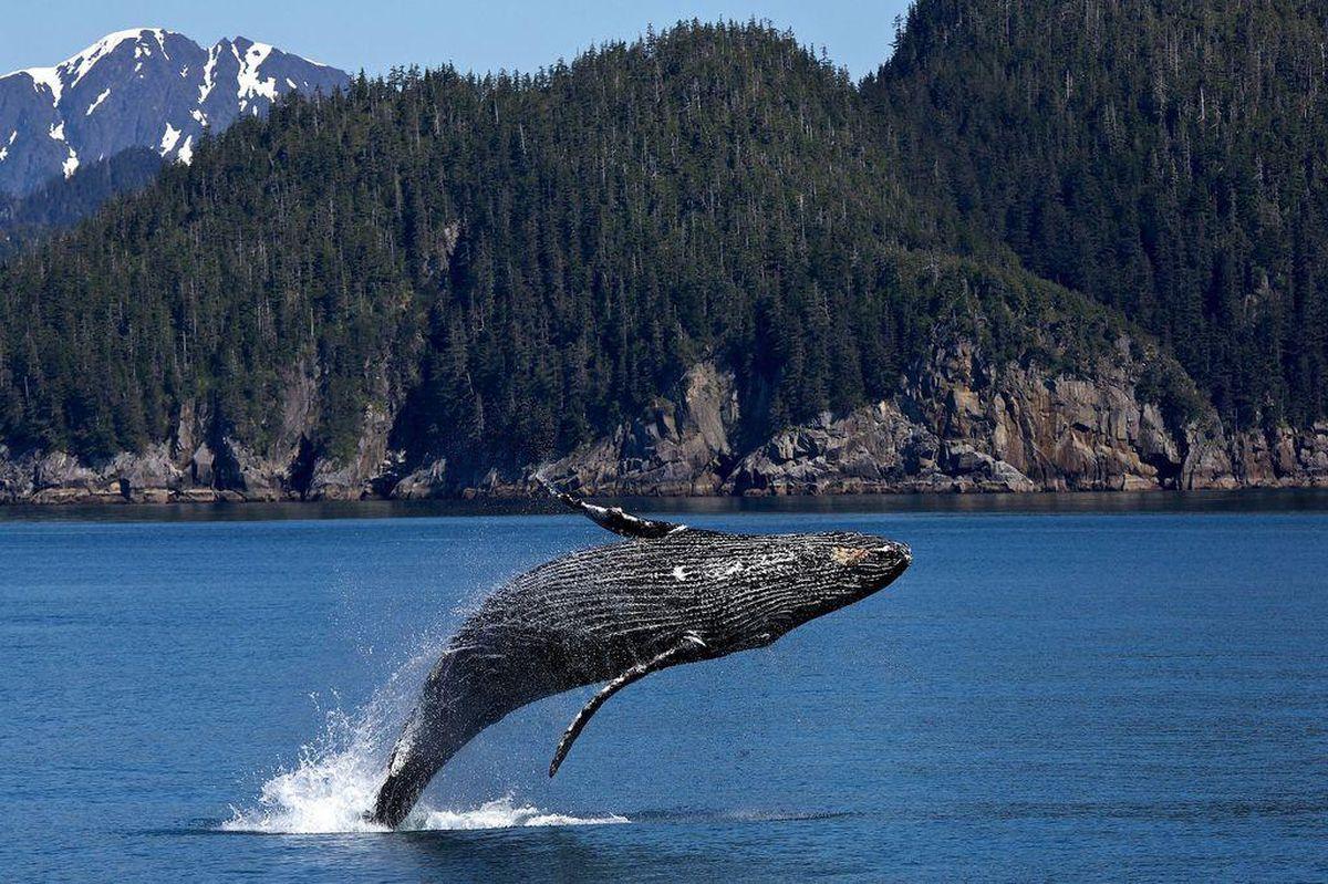 A humpback whale breaching. (Tribune News Service)