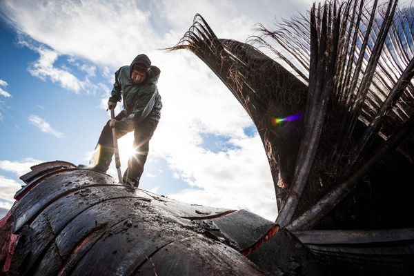Eddie Rexford butchering a bowhead whale head on the beach in Kaktovik. Sept 6, 2012. (Loren Holmes / ADN file photo)