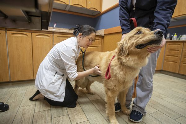 Jenny Kim, a veterinarian oncologist, listens to the heartbeat of Danny Boy, a Labrador that she has treated with lymphoma, in the exam room at NorthStar Vets in Maple Shade Township, NJ on October 2, 2019. (Michael Bryant/The Philadelphia Inquirer/TNS)