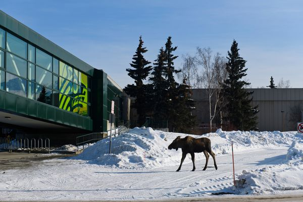 A moose walks across the UAA campus on March 13, 2020. University of Alaska announced that most UA courses will be offered using alternate delivery method starting March 23, 2020. (Marc Lester / ADN)