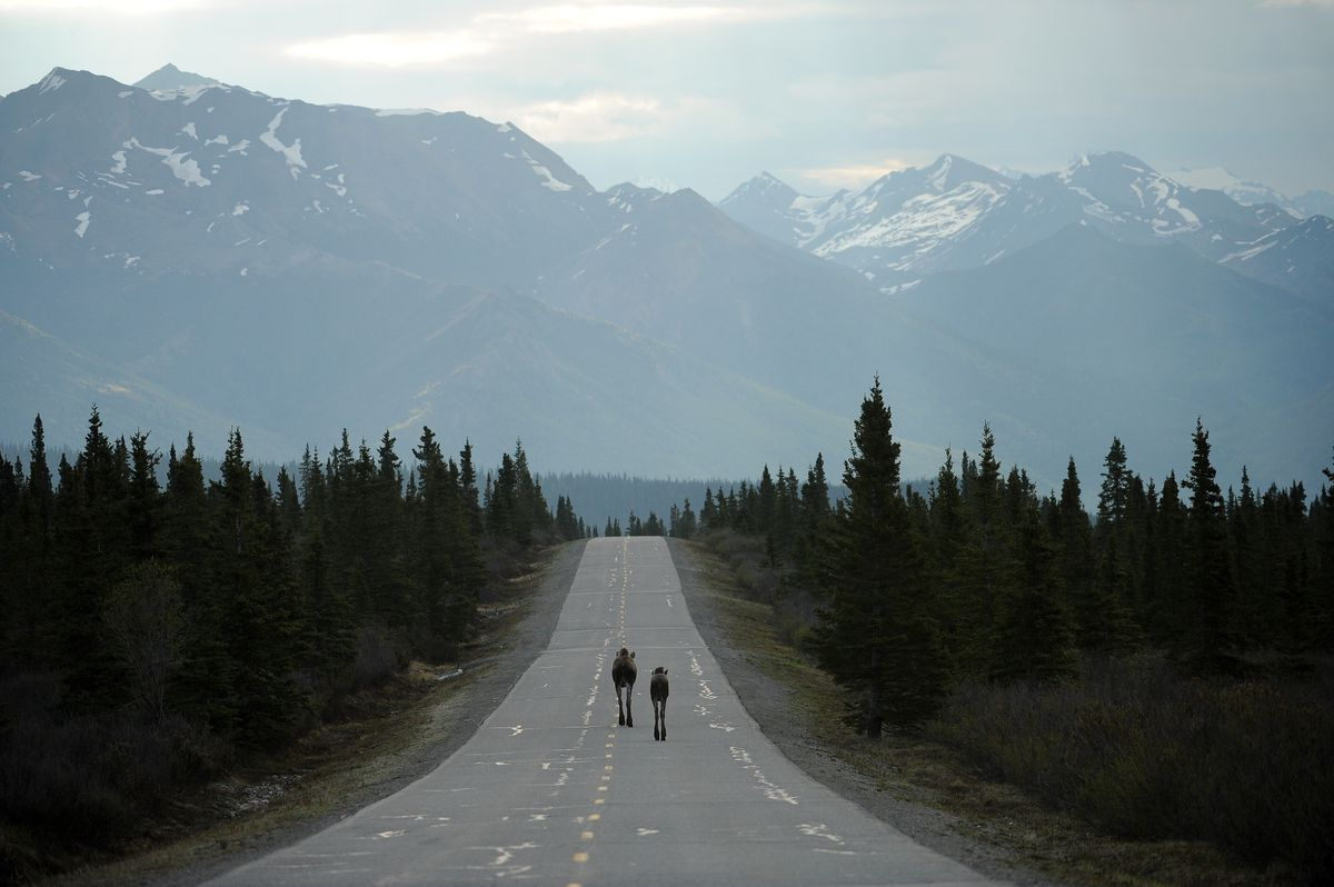 A pair of moose walk down the park road in Denali National Park and Preserve on May 19, 2016. (Bob Hallinen / Alaska Dispatch News)