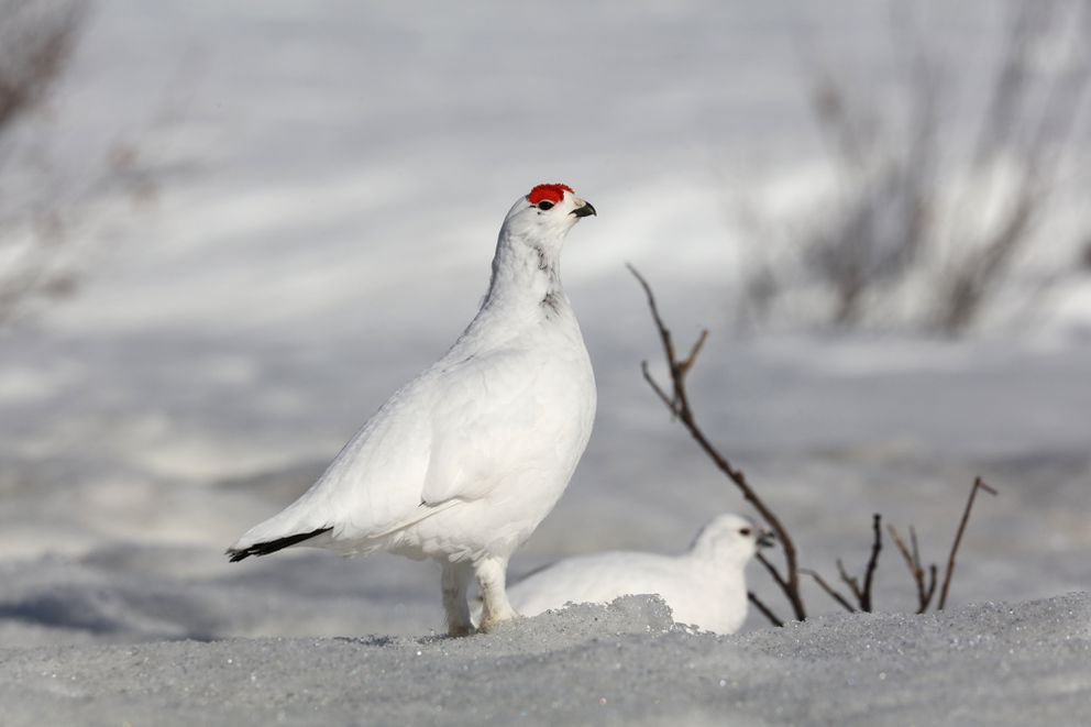 A willow ptarmigan stands guard with a female. (Photo by Steve Meyer)